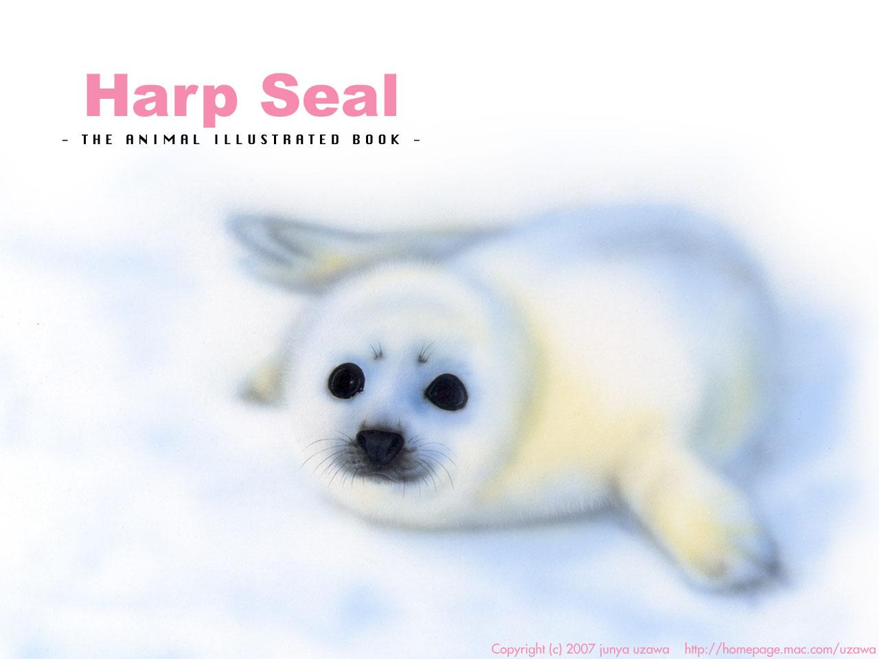 Harp Sael/タテゴトアザラシ/赤ちゃんの絵
